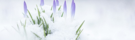 Image of Crocuses in Snow