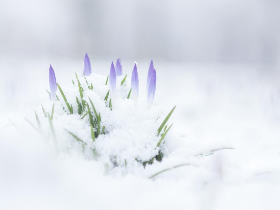 Image of Crocuses in Snow